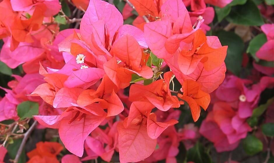 bougainvillea Robert Edward Hart Garden