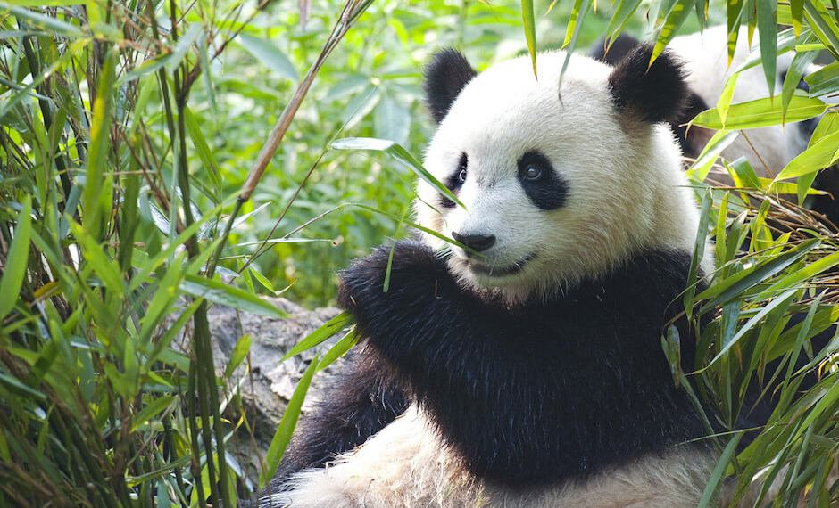 Meet the Giant Panda with new flights to China